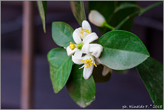 flower.grapefruit@citrus.it (Rinaldofr) Tags: citrus flowers grapefruit green closeup zagara white