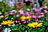 Una, dos, tres... (ameliapardo) Tags: margaritas colores macro macrodeflores floresyplantas jardines airelibre sevilla andalucia españa fujixt1