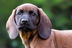 Isn't sweet? (Radosław Owczarczak) Tags: bavarianmountainhound bavarian bawarski posokowiecbawarski szczeniak puppy pup young dog animal eyes sweetdogs sweet korso bokeh 85mm garden