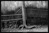 Tree and Roots (Ilan Shacham) Tags: landscape view scenic abstract tree bamboo arashiyama kyoto japan fineart fineartphotography bw blackandwhite asbtract minimalism root graphic