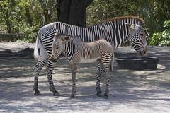 Grévy's zebra (Equus grevyi) (ucumari photography) Tags: ucumariphotography zoo miami fl florida march 2018 grévyszebra equusgrevyi animal mammal foal dsc3727