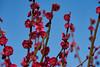 Red plum flowers (Christophe-la) Tags: jonangu plumtree flower 梅の花 梅 花 grosplan macro closeup kyoto japan