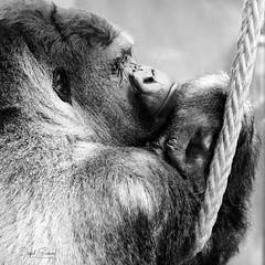 The Thinker (Inky-NL) Tags: blijdorp diergaardeblijdorp rotterdam dierentuin zoo gorilla silverback blackandwhite bw animal mensaap ape dedenker thethinker bokito