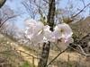 18o7887 (kimagurenote) Tags: 桜 sakura cherry flower prunus cerasus 多摩森林科学園 tamaforestsciencegarden 東京都八王子市 hachiojitokyo