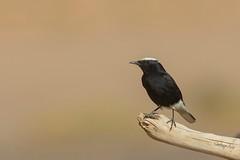 Oenanthe leucopyga (Santy1964) Tags: collabayebélica oenantheleucopyga marruecos desert desierto wheatear collalbas collalba