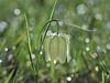 Marsh tulip/Močvirski tulipan/Fritillaria meleagris (Silva Predalič) Tags: močvirskitulipan ljubljanskobarje marches močvirskalogarica slovenia ljubljana barje bokeh plant morning spring macro meadow