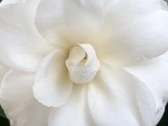 (pcamma) Tags: paolacamma arte artista artist natura nature astrazioni abstractions line lines macro spring primavera monocratico onecolor white bianco camelia cmelia fiore flower