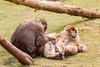 Relaxing (Photography by Martijn Aalbers) Tags: barbary ape barbaryape barbarymacaque monkey aap berber berberaap apenheul apeldoorn gelderland guelders zoo dierentuin park parc mammal zoogdier canoneos77d ef70200mmf4lisusm wwwgevoeligeplatennl