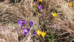 Crocus blooming (kuntheaprum) Tags: majorthomasmeninopark menino charlestown boston cityscape nikon d80 samyang 85mm f14 water tobinbridge cityofboston