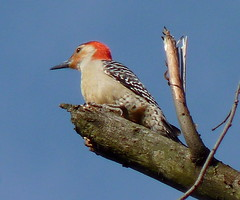 Red-bellied Woodpecker (Dendroica cerulea) Tags: redbelliedwoodpecker melanerpescarolinus melanerpes melanerpini picinae picidae picides pici piciformes neoaves neognathae neornithes aves bird birds woodpecker spring rahwayrivergreenway lindenlandfill hawkrisesanctuary linden unioncounty nj newjersey