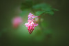 Flowering Currant (Dhina A) Tags: sony a7rii ilce7rm2 a7r2 samyang 85mm f14 ed as umc