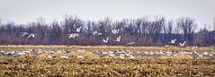"""Birds Of A Feather Don't Always Flock Together"" (J Henry G) Tags: tundraswans sandhillcranes canadageese johnhenrygremmer nature birdmigration wisconsinbirds"