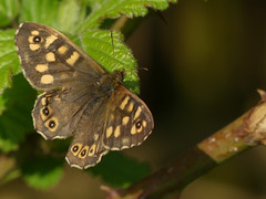 Speckled Wood (ukstormchaser (A.k.a The Bug Whisperer)) Tags: speckled wood butterfly butterflies fly flies animal animals wildlife milton keynes buckinghamshire april sunshine leaf leaves