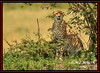 FEMALE CHEETAH  (Acinonyx jubatus).....MASAI MARA....SEPT 2017. (M Z Malik) Tags: nikon d3x 200400mm14afs kenya africa safari wildlife masaimara exoticafricanwildlife exoticafricancats flickrbigcats cheetah acinonyxjubatus ngc npc