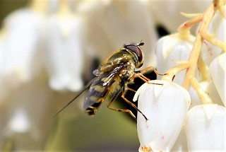DSC_8122 Hoverfly