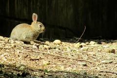 Little rabbit - Piccolo coniglio (Markom 4.0) Tags: little rabbit coniglio piccolo animal animale canon canonsx400 cute carino