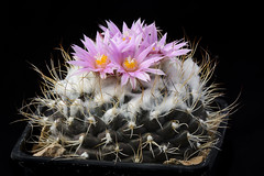 Cactus Turbinicarpus laui with flower isolated on Black. (clement_peiffer) Tags: cactaceae areoles background black bloom blossom botanical cacti cactus close closeup color curve decoration desert detail flora floral flower flowers garden green grow hook isolated laui macro natural nature nobody pink plant pot red shape sharp spine stem studio succulent summer thorn turbinicarpus up view white yellow cotton hairy