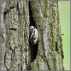 Tree Creeper (image 1 of 2) (Full Moon Images) Tags: rspb sandy lodge thelodge wildlife nature reserve bedfordshire bird tree creeper