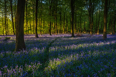 Stick to the path (lloydlane) Tags: bluebells sussex woods trees path woodland england countryside breath taking landscapes