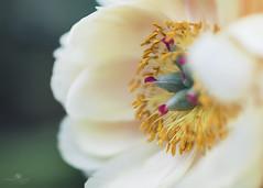it takes a village (rockinmonique) Tags: muttart flower bloom blossom petal stamen pistil pink yellow red green macro bokeh silky moniquew canon canont6s tamron tamron45mm copyright2018moniquewphotography