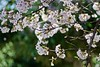 DSC01329 (Kotaro_Nakagawa) Tags: sony ilce6000 mhexanon90mmf28 konica blossom flower tree
