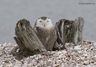 Snowy Owl and Driftwood