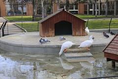 Patos y palomas. (blanferblanc) Tags: patos palomas estanque retiro parque madrid