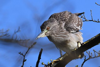 Bihoreau gris immature - Nycticorax nycticorax - Black-crowned- night heron