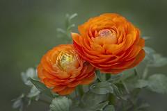 Nevena Uzurov - Together (Nevena Uzurov) Tags: ranunculus ljutić orange petals beautiful nevenauzurov serbia