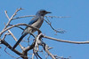 Woodhouse's Scrub-Jay - Oracle, AZ (johntubbs) Tags: bird jay scrubjay woodhousesscrubjay arizona arizonabird