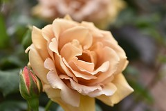 Rose 'Butter Scoth' raised in USA (naruo0720) Tags: rose americanrose butterscotch バラ ばら アメリカのバラ バタースコッチ sigmalenses