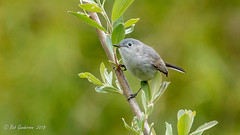 G1) Blue-gray Gnatcatcher (Bob Gunderson) Tags: birds bluegraygnatcatcher california elpolinsprings gnatcatchers kingletsgnatcatchers northerncalifornia polioptilacaerulea presidio sanfrancisco