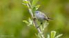 Blue-gray Gnatcatcher (Bob Gunderson) Tags: birds bluegraygnatcatcher california elpolinsprings gnatcatchers kingletsgnatcatchers northerncalifornia polioptilacaerulea presidio sanfrancisco