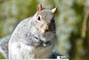 Thank you so much!!! (ineedathis, Everyday I get up, it's a great day!) Tags: squirrel easterngraysquirrel eating pecans trough sciurus tree sciuruscarolinensis animal critter nature winter furry garden nikond750 atlanticweepingcedar needles gray portrait male outdoor whiskers mammal bokeh