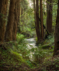 Stillwater Creek (mikeSF_) Tags: california mikeoria mendocino sonomalredwood stillwatercove stillwater wwwmikeoriacom pentax645z sonoma outdoor green clover redwood creek cove
