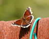 Mourning Cloak Butterfly (E Rabeck) Tags: greatneck newyork unitedstates us
