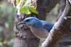 Mexican Jay (Aphelocoma wollweberi) (Susan Jarnagin) Tags: bird cochisestronghold az aphelocomawollweberi wildlife jay cochisecounty mexicanjay arizona