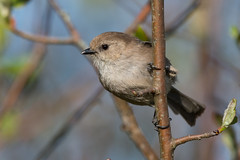 Clarke_180422_6606.jpg (www.raincoastphoto.com) Tags: birds psaltriparusminimus birdsofbritishcolumbia birdsofnorthamerica bushtits sparrows birdsofcanada britishcolumbia canada