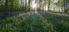 Last Light at Bluebell Wood, Cothill Nature Reserve, Oxfordshire. (Steve-Ross) Tags: bluebells sunset forest samyang 12mm f20 light rays tree sun golden hour