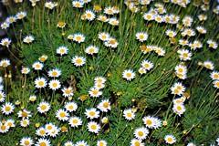 Little daisies at night (thomasgorman1) Tags: daisies night flash nikon nature plant flowers california