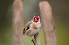 Laughing Goldfinch - (Carduelis carduelis)  'L' for large (hunt.keith27) Tags: cardueliscarduelis goldfinch woodland moss bird wing feather beak devon canon colourful highly coloured finch with bright red face yellow patch sociable animal fence sigma wood laughing