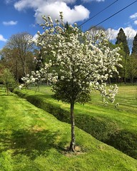 White Apple Blossom (Marc Sayce) Tags: white apple tree blossom bloom lodge alice holt forest hampshire farnham surrey south downs national park spring april 2018