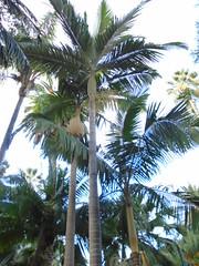 Archontophoenix alexandrae (sftrajan) Tags: valenciabotanicgarden archontophoenixalexandrae alexanderpalm alexandrapalm kingalexanderpalm kingpalm northernbangalowpalm australianplants australianplams australianflora ptychospermaalexandrae arecaceae palmae palmaalejandra jadinbotanique espagne españa valencia spain botanicalgarden jardínbotánico ortobotanico ogródbotaniczny botanischergarten valència espanya jardínbotánicodevalencia jardínbotánicodelauniversidaddevalencia jardíbotànicdelauniversitatdevalència jardinbotanique valence jardimbotânico
