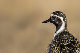 Plover Profiled