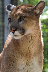 Young cougar (stephanieswayne1) Tags: portrait profile looking head eyes fur endangered animal wild cat big becca kentucky zoo louisville young cougar lion mountain puma