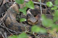 Staredown (vbvacruiser) Tags: virginia virginiabeach backbaynationalwildliferefuge falsecapestatepark herpetology reptile snake venom watermoccasin cottonmouth nikon d7100