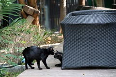 LR-DSCF0325 (studiofuntas) Tags: watarun bangkok thai thailand cat cats straycat 猫 バンコック バンコク タイ タイ王国 子猫 blackcat foodstands tropicalrainforest tropics