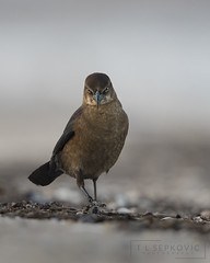 Grackle (T L Sepkovic) Tags: grackle beach strut birds wildlife photography avianphotography audubon canon 5dmkiv