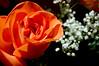 Orange Rose (hollyzade) Tags: beautiful flowers rose orange white floral dark background pretty nature bouquet nikon d40 nikond40