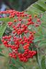 Sorbus rehderiana Koehne - Kew Gardens (Ruud de Block) Tags: kewgardens ruuddeblock rosaceae royalbotanicgardens sorbusrehderiana sorbus rehderiana
